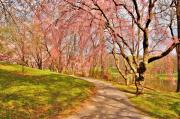Cherry Blossom Trees Prints - I Will Follow You If You Follow Me - Holmdel Park Print by Angie McKenzie