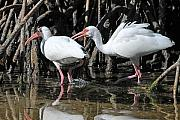 Ibis Framed Prints - Ibis Argument Framed Print by Alan Lenk