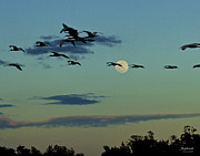 Fort Meyers Framed Prints - Ibis before Full Moon Framed Print by Bill Schaudt