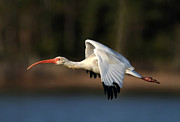 Phil Lanoue Acrylic Prints - Ibis Flight Acrylic Print by Phil Lanoue