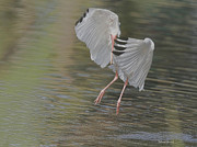 Ibis Metal Prints - Ibis Grace Metal Print by Deborah Benoit