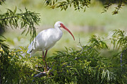 Ibis Metal Prints - Ibis in Cypress Metal Print by Patrick M Lynch