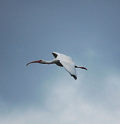 Ibis Digital Art - Ibis in Flight by David Lane