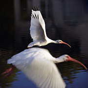 Tropical Wildlife Posters - Ibis in Flight Poster by Glennis Siverson