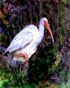 Ibis Digital Art - Ibis in the Mangroves by Doris Wood
