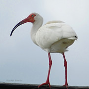 Ibis Digital Art - Ibis in the Morning by DigiArt Diaries by Vicky Browning