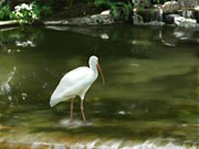 Ibis Digital Art - Ibis in Water by Shere Crossman