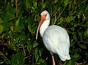 Wildlife Photography - Ibis by Juergen Roth