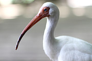 Moon Time Photo - Ibis