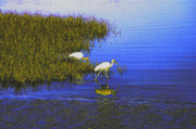 Shotwell Photography Metal Prints - Ibis Morning 2 Metal Print by Kathi Shotwell