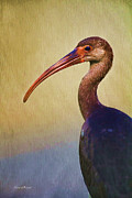 Ibis Metal Prints - Ibis Nature Pose Metal Print by Deborah Benoit