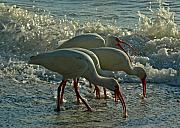 Ibis Framed Prints - Ibises Framed Print by Juergen Roth