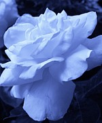 Ice Blue Rose Print by Bruce Bley