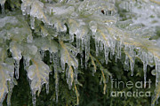 Severe Weather Posters - Ice-coated Arborvitae Poster by Ted Kinsman