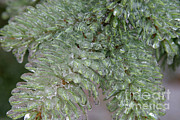 Ice Storm Photos - Ice-coated Norway Spruce by Ted Kinsman