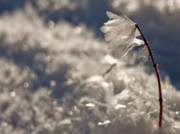 Digitale Photografie Prints - Ice Flower Print by Renata Vogl