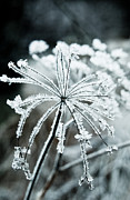 Frost Photos - Ice flower by Scott Sawyer