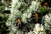 Pine Trees Metal Prints - Ice n Pinecones Metal Print by Emily Stauring
