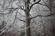 Icicles Photos - Ice Tree by Jane Melgaard