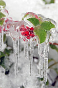 Berries Red  Ice Storm Posters - Iced Holly Poster by Sarah Schroder