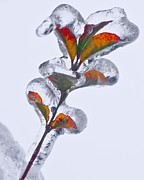 Ice Storm Photos - Iced Leaves by James Rowland