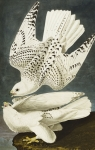 White Drawings Posters - Iceland Or Jer Falcon Poster by John James Audubon