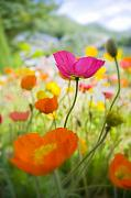 Decorativ Photo Metal Prints - Iceland Poppies Metal Print by Silke Magino