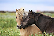 Two Animals Art - Icelandic Horse by Gigja Einarsdottir