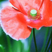 Icelandic Poppy Print by Bonnie Bruno