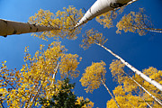 Iconic Aspen Photo Print by Stephen  Johnson