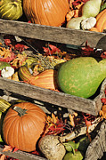 Acorn Squash Posters - Iconic Autumn Vegetables Poster by Jeremy Woodhouse