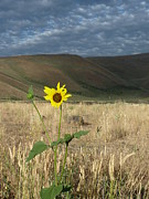 Estephy Sabin Figueroa Photo Metal Prints - Idaho Sunflower Metal Print by Estephy Sabin Figueroa