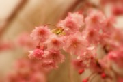 Cherry Blossom Trees Prints - If Only For A Moment Print by Angie McKenzie