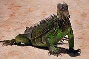 Fauna Mixed Media Acrylic Prints - Iguana Acrylic Print by Bibi Romer