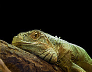 Profile Photo Posters - Iguana Poster by Jane Rix