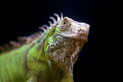 Endangered Species Prints - Iguana Joven (young Iguana) Print by Manuel M. Almeida