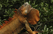 Iguana Metal Prints - Iguana Showing Off Metal Print by Bob Christopher