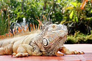 Iguana Metal Prints - Iguana Metal Print by Showing the world ..