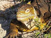 Iguana Metal Prints - Iguana Smile Metal Print by Richard Mansfield