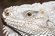 Large Scale Framed Prints - Iiguana face Framed Print by Anek Suwannaphoom