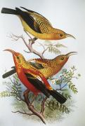 Tropical Wildlife Paintings - Iiwi by Hawaiian Legacy Archive - Printscapes