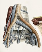 Femoral Artery Prints - Iliac Blood Vessel Nerves, 1844 Artwork Print by