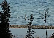 Swans Acrylic Prints - Ill Fly Away Acrylic Print by G  Teysen