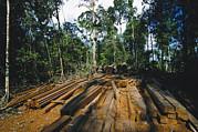 Illegal Logging Site, Felled Trees Print by Tim Laman