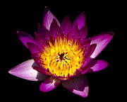 Nymphaea Prints - Illuminated Red Water Lily Print by George Oze