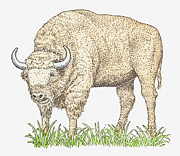 Pen Digital Art - Illustration Of A Bison by Dorling Kindersley