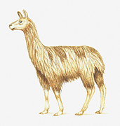 Llama Digital Art Framed Prints - Illustration Of A Llama Framed Print by Dorling Kindersley