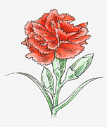 Pen Digital Art - Illustration Of A Red Carnation by Dorling Kindersley