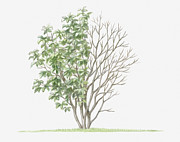 Tree Leaf Posters - Illustration Of Alnus Rugosa (speckled Alder) Showing Shape Of Tree With Green Summer Foliage And Bare Winter Branches Poster by Dorling Kindersley