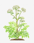 Angelica Framed Prints - Illustration Of Angelica Sylvestris (wild Angelica) Framed Print by Ann Winterbotham